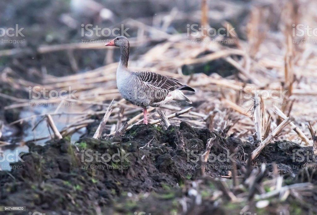 Greylag goose in farmland with chopped corn. stock photo