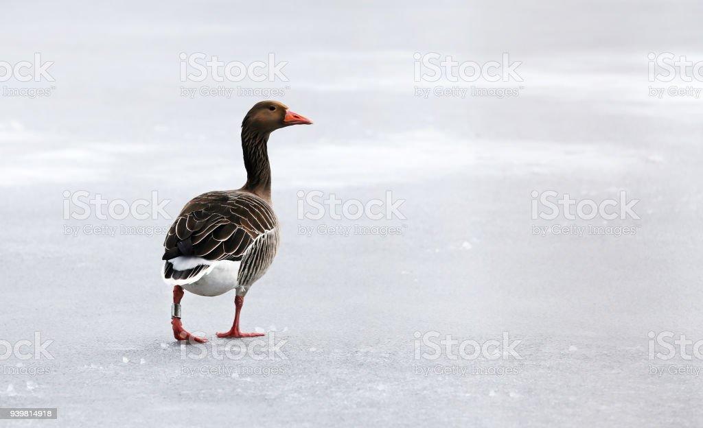 Greylag goose on frozen lake stock photo