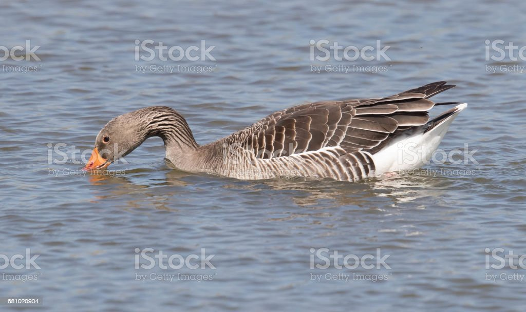 Greylag Goose royalty-free stock photo
