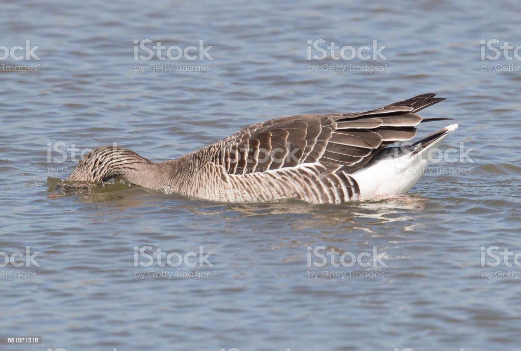 Greylag Goose royalty-free stock photo