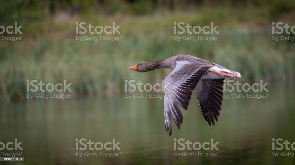 Greylag Goose ロイヤリティフリーストックフォト