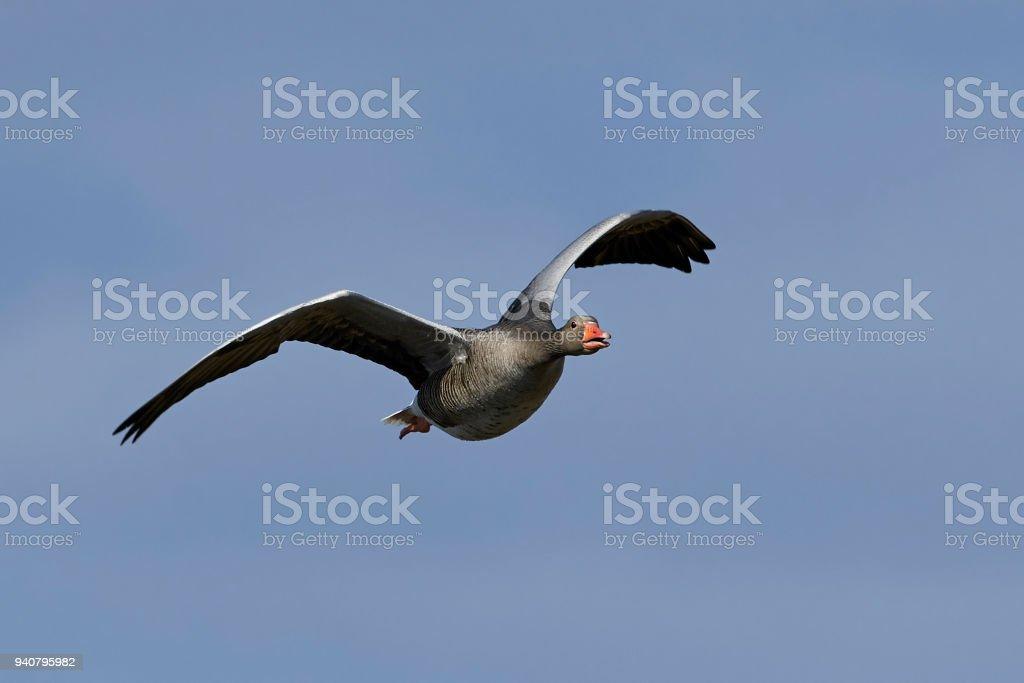 Greylag goose (Anser anser) stock photo
