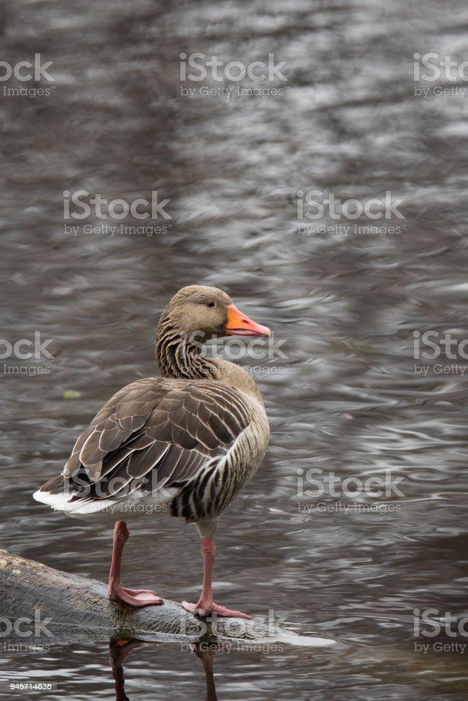 Greylag goose stock photo