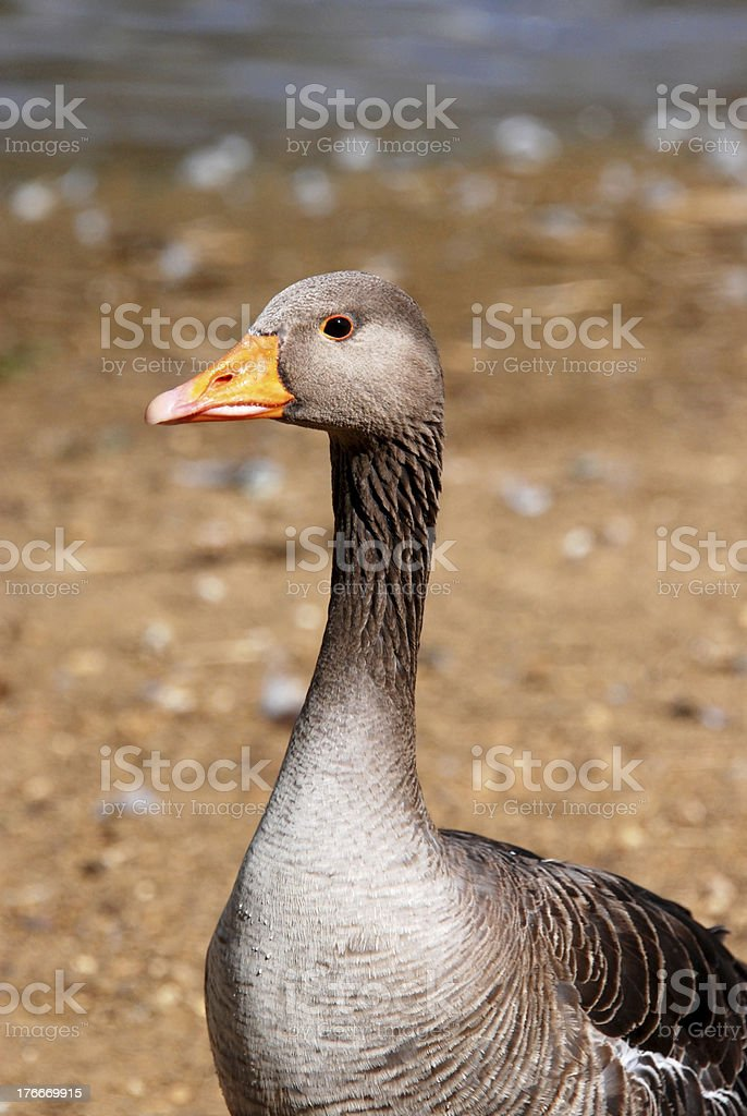 Greylag goose standing by the water royalty-free stock photo