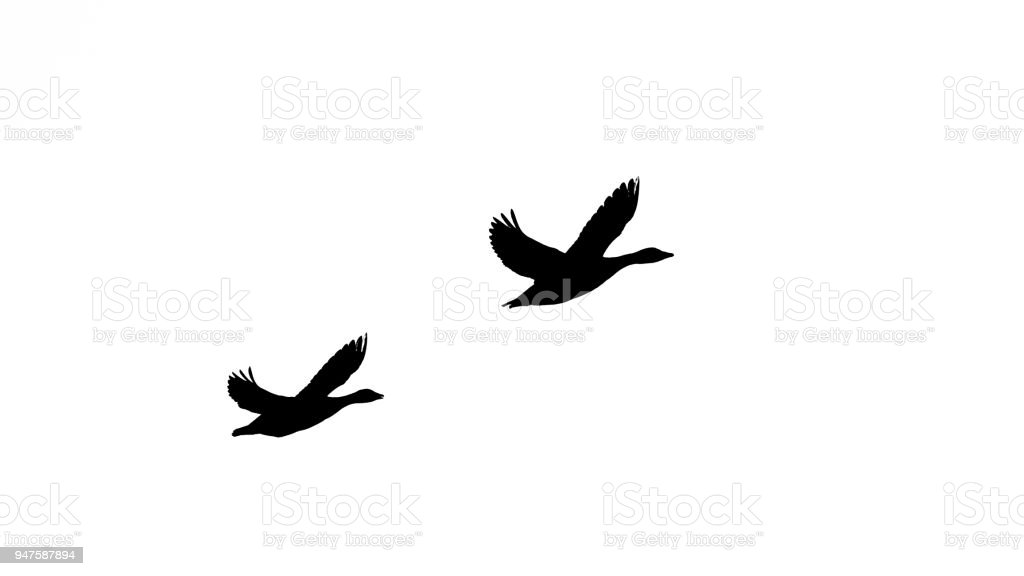 Greylag goose the couples flight in black and white silhuette stock photo