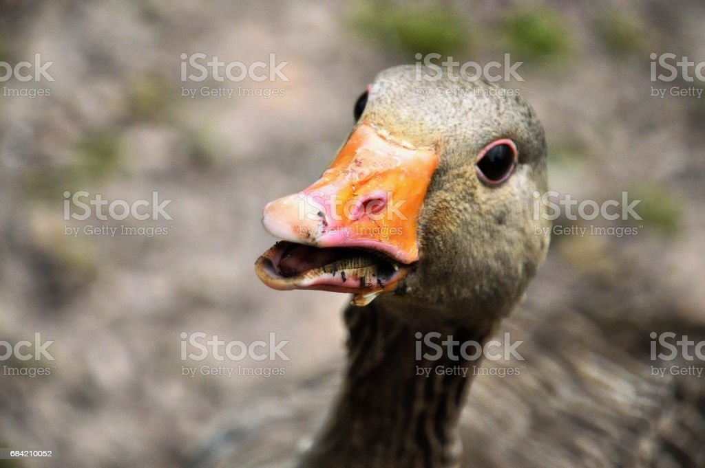 Greylag #4 royalty-free stock photo