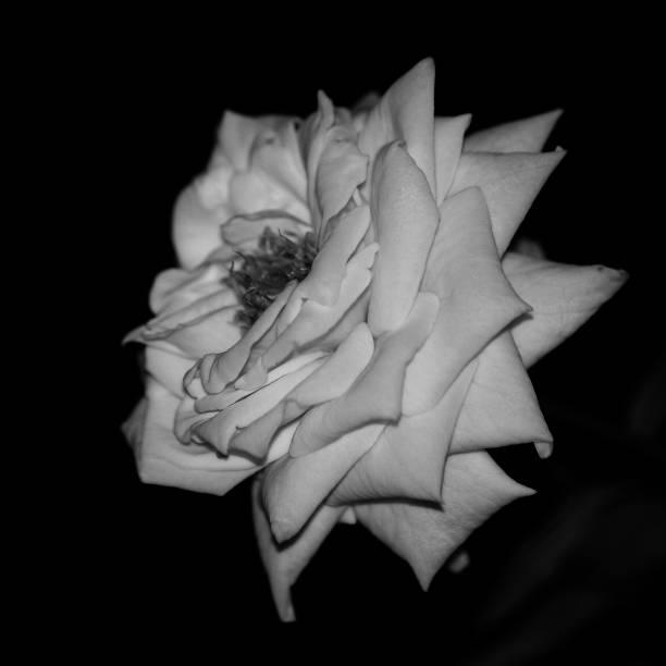 Gråskala rose bildbanksfoto