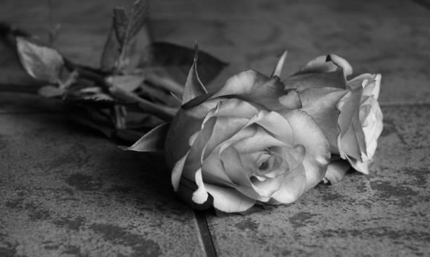Gråskala rosor bildbanksfoto