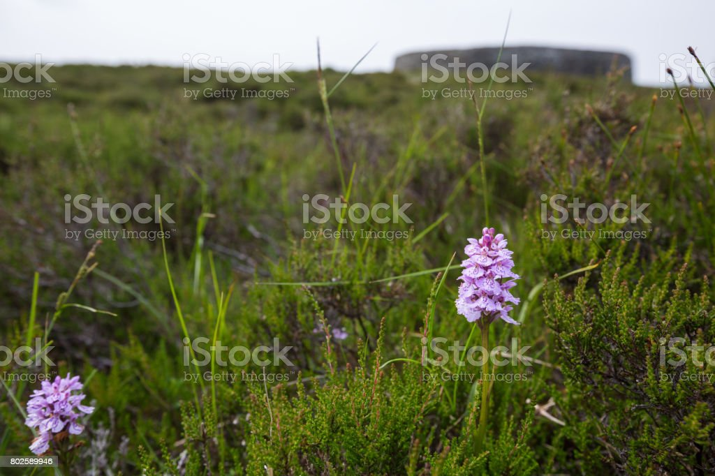 Grianan of Aileach with pink orchids stock photo