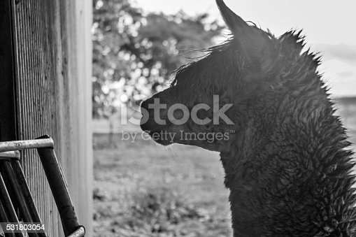 istock Griffin the alpaca 531803054