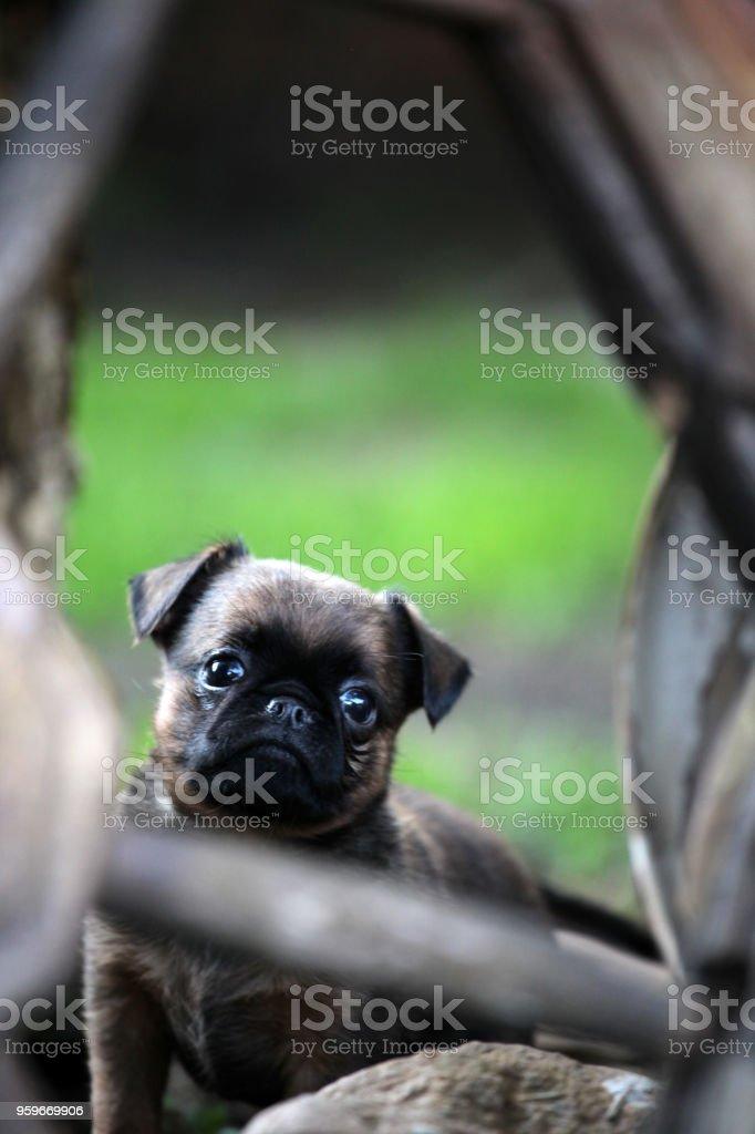 Jardín de bebé perro leonado - Foto de stock de Aire libre libre de derechos