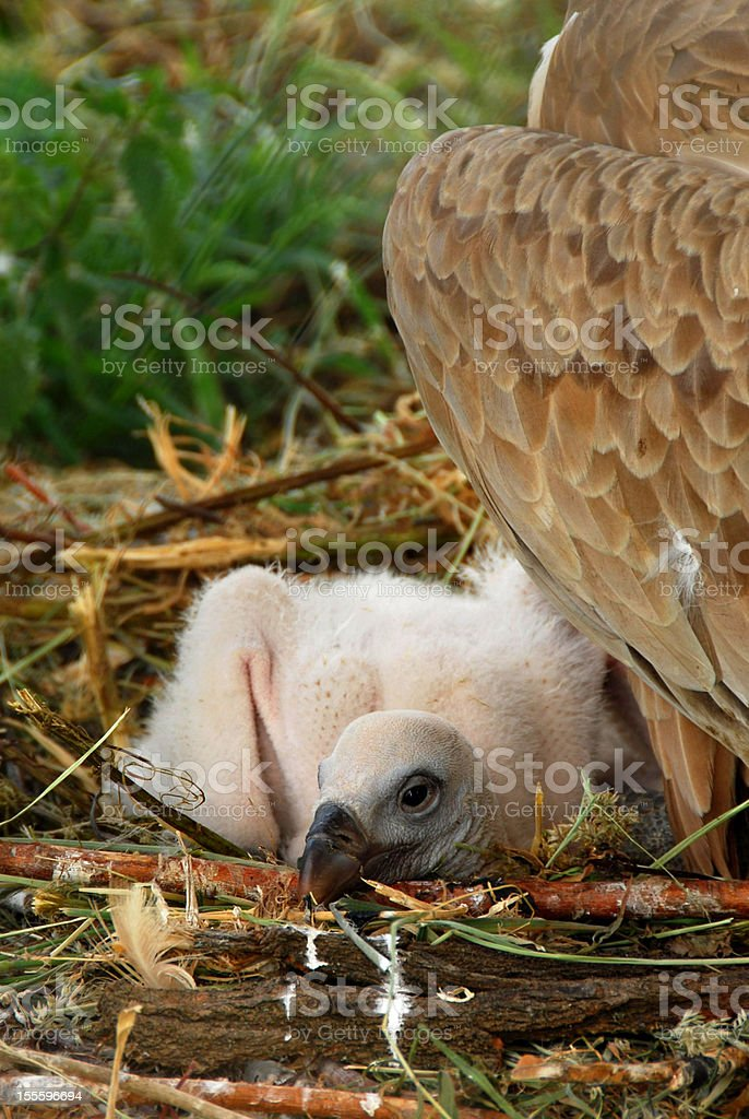Griffon vulture Chick laying in the nest. stock photo