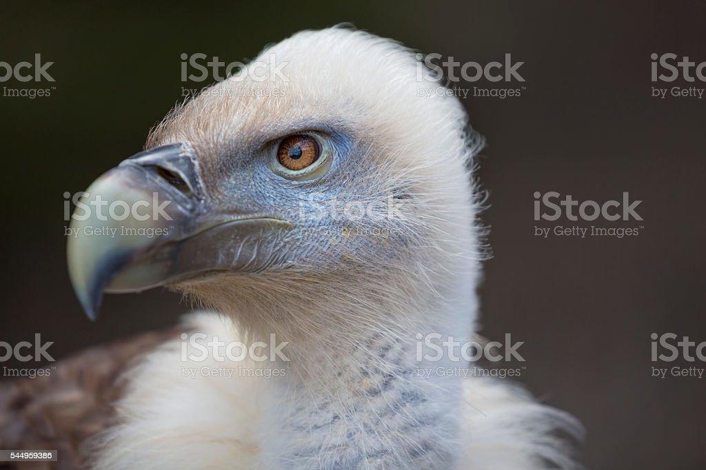 Griffon vulture Gyps fulvus head stock photo