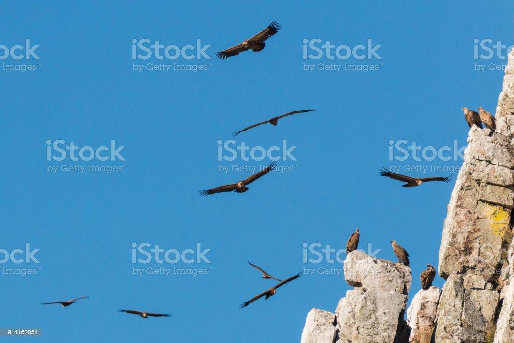 Griffon Vulture abgeschottet Fulvus in der Extremadura – Foto