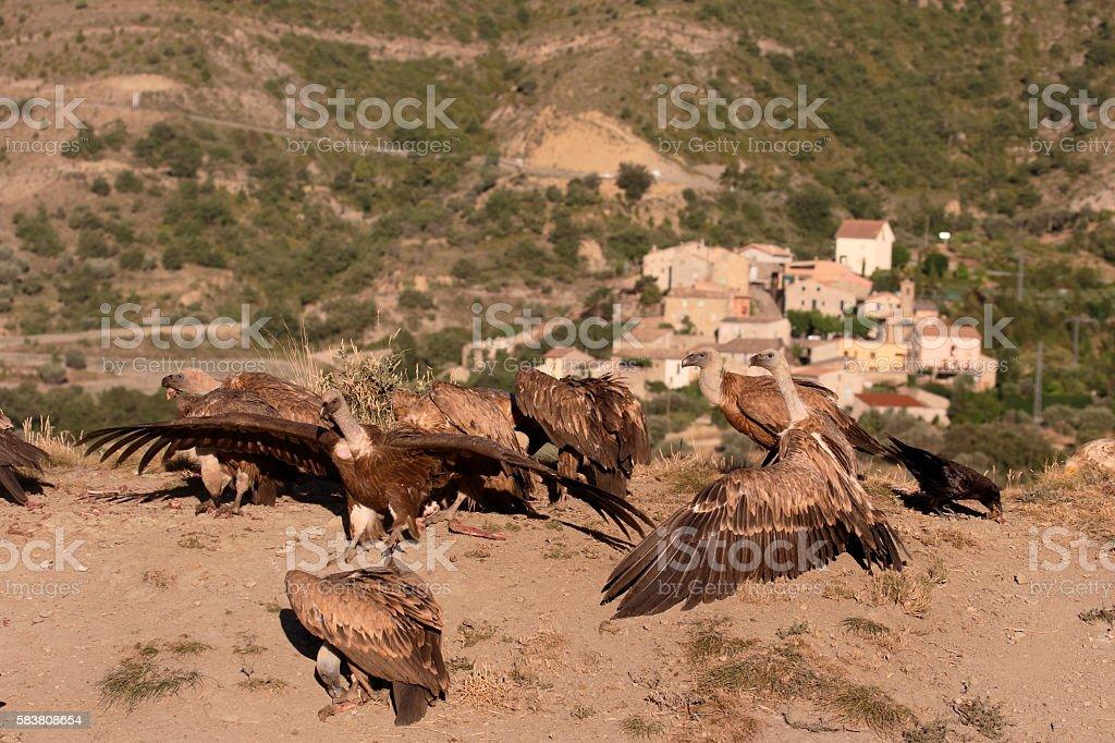 Griffon vulture, Gyps fulvus stock photo