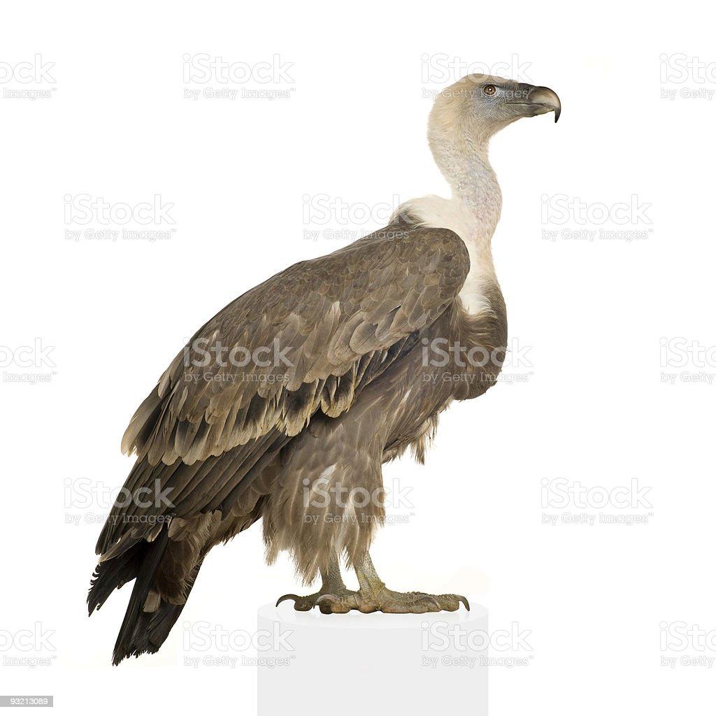 Griffon Vulture - Gyps fulvus stock photo