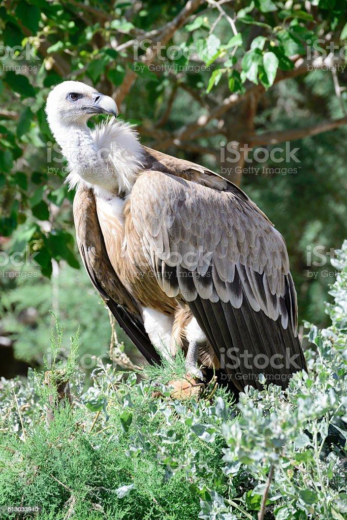 Griffon vulture, Gyps fulvus, single bird in a tree stock photo