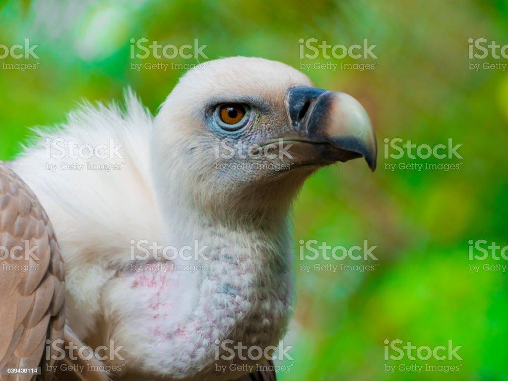 Griffon vulture head stock photo