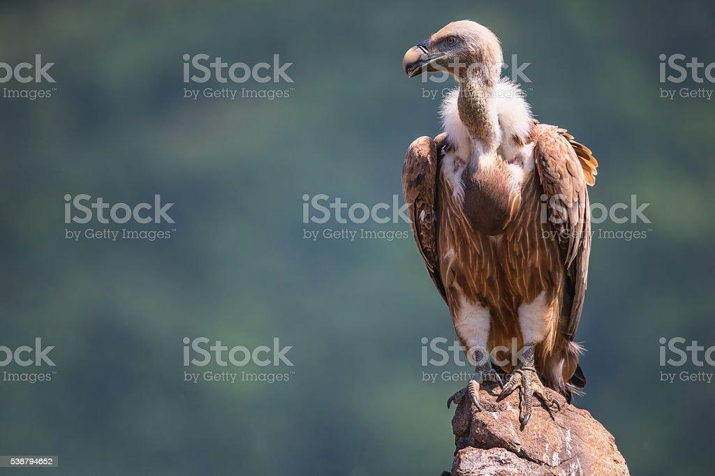 Griffon Vulture in a detailed portrait, standing on a rock - foto de stock