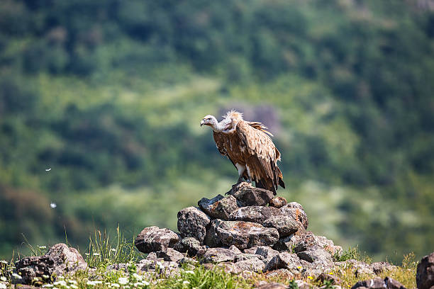 griffon vulture in a detailed portrait, standing on a rock - ブルガリア文化 ストックフォトと画像