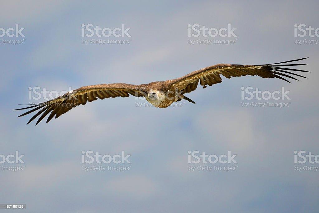 Griffon vulture in flight stock photo