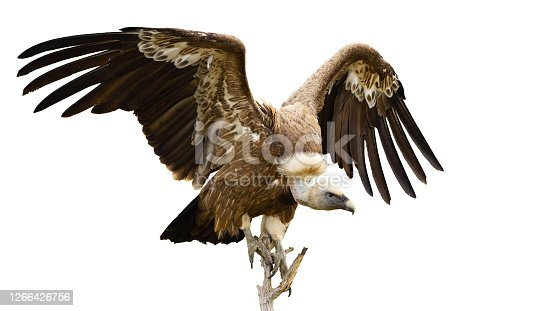 Griffon vulture, gyps fulvus, landing on a bough from front view isolated on white background. Scavenger bird with spread wings sitting down on a twig cut out on blank.
