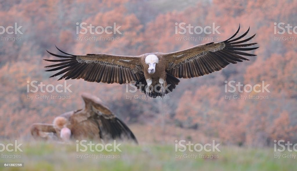 Griffon vulture landing on the meadow. stock photo