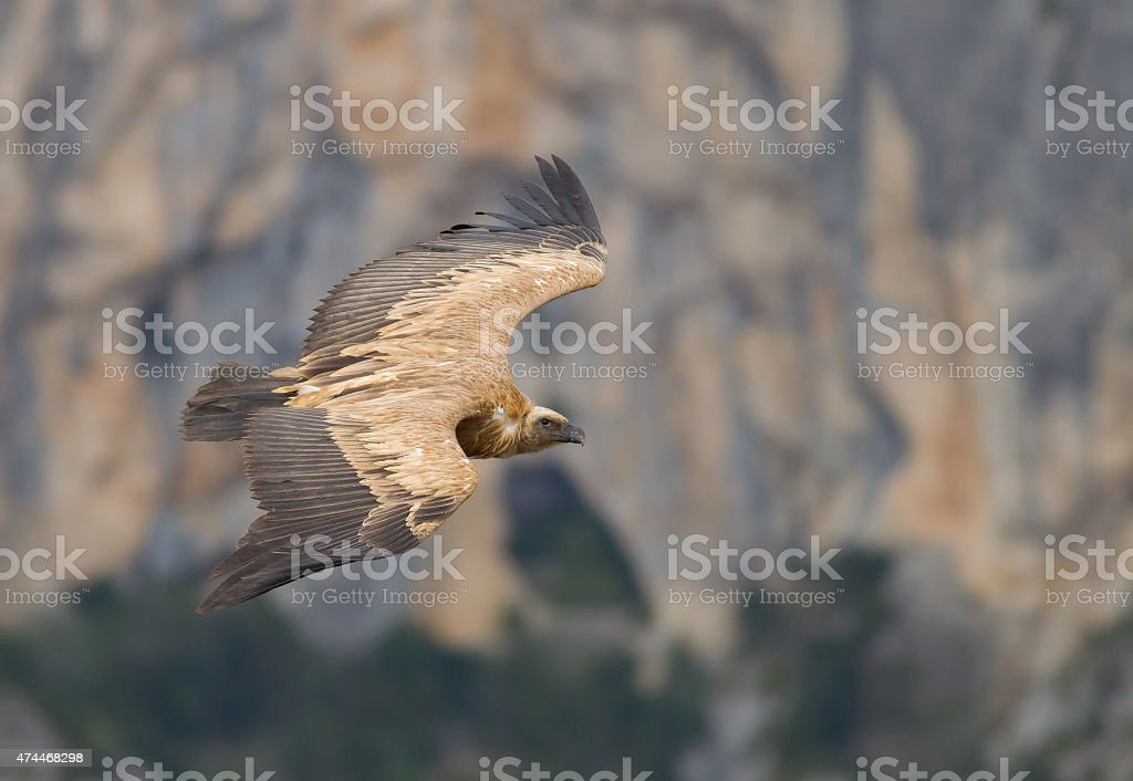 Griffon vulture (Gyps fulvus) - Lateral view stock photo