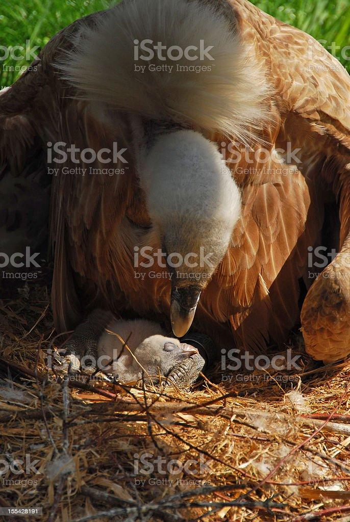 Griffon Vulture on bird`s nest stock photo