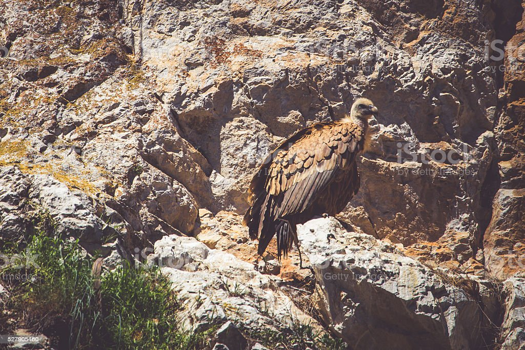 Griffon Vulture on the rock stock photo