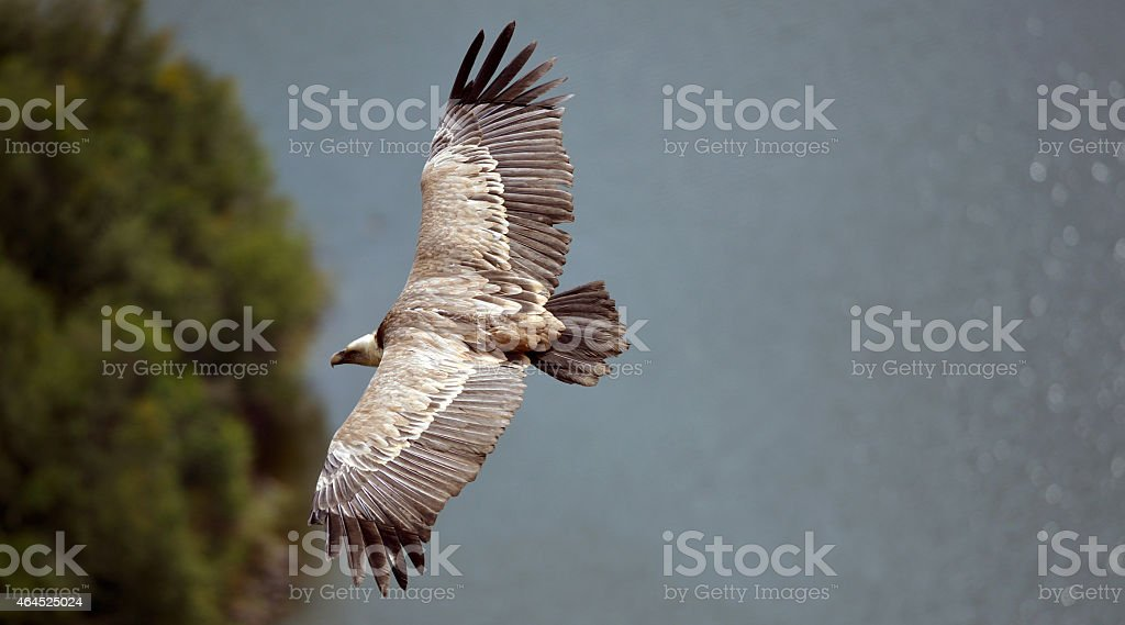 Griffon vulture over the canyon stock photo