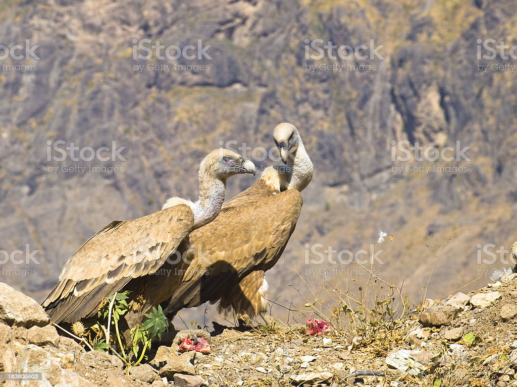 Griffon Vulture pair stock photo