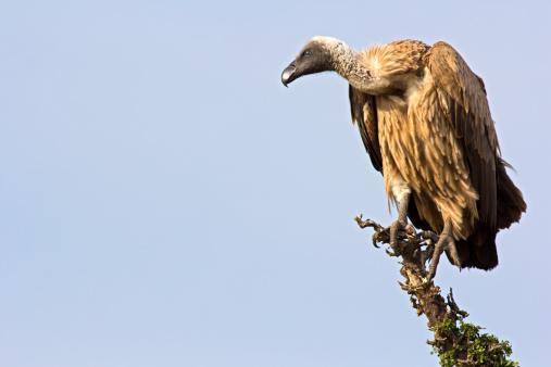 Griffon vulture on the lookout - Masai Mara, Kenya