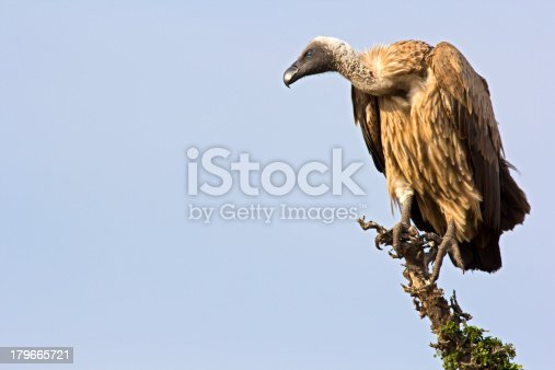 Griffon vulture on the lookout - Masai Mara, Kenya