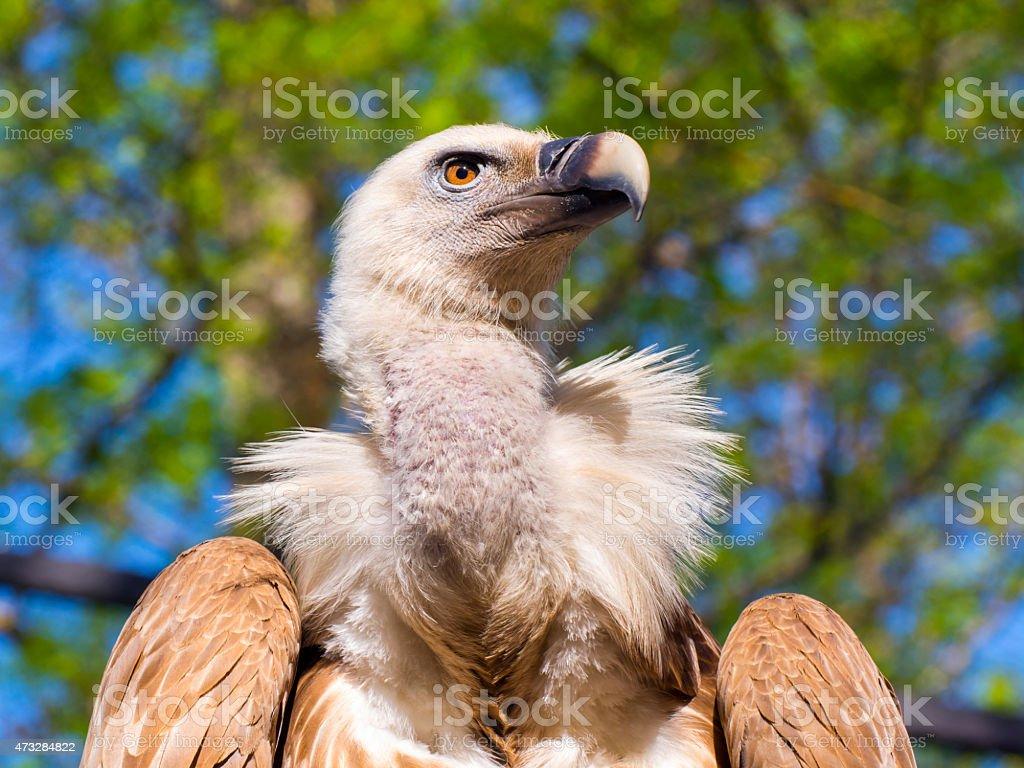 Griffon vulture (Gyps fulvus) stock photo