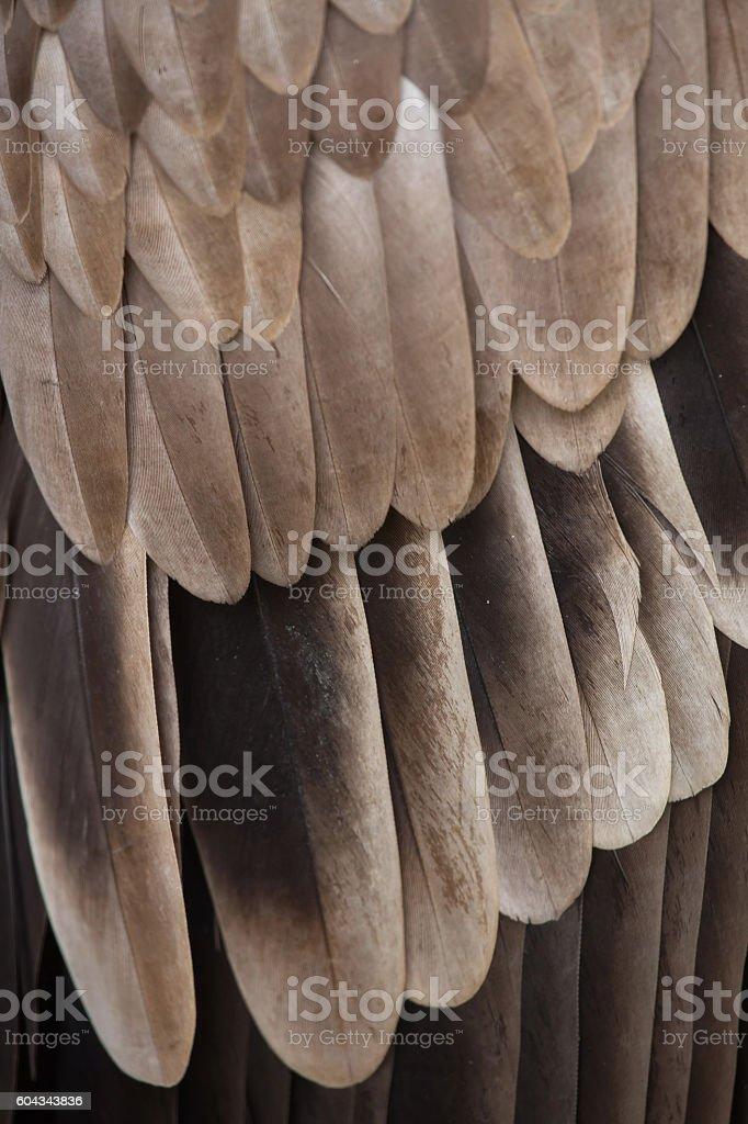 Griffon vulture (Gyps fulvus). Plumage texture. stock photo