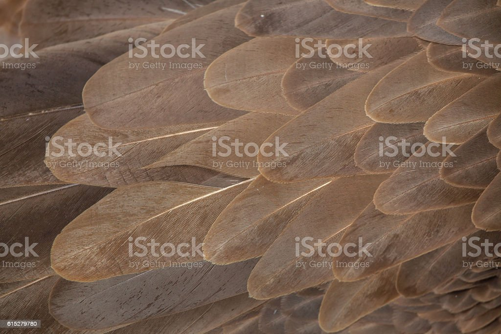 Griffon vulture (Gyps fulvus). Plumage texture stock photo