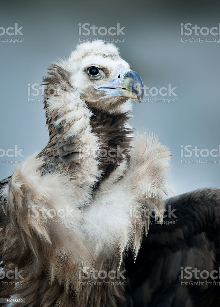 Griffon Vulture - Portrait in winter stock photo