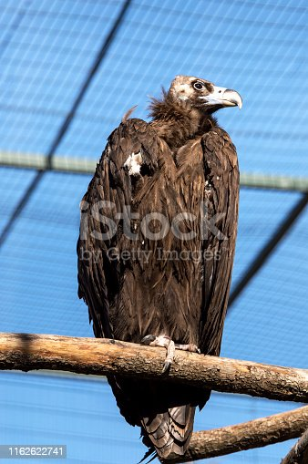 Griffon Vulture with sky background