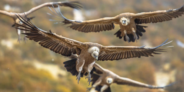 Griffon vultures flying in mist stock photo