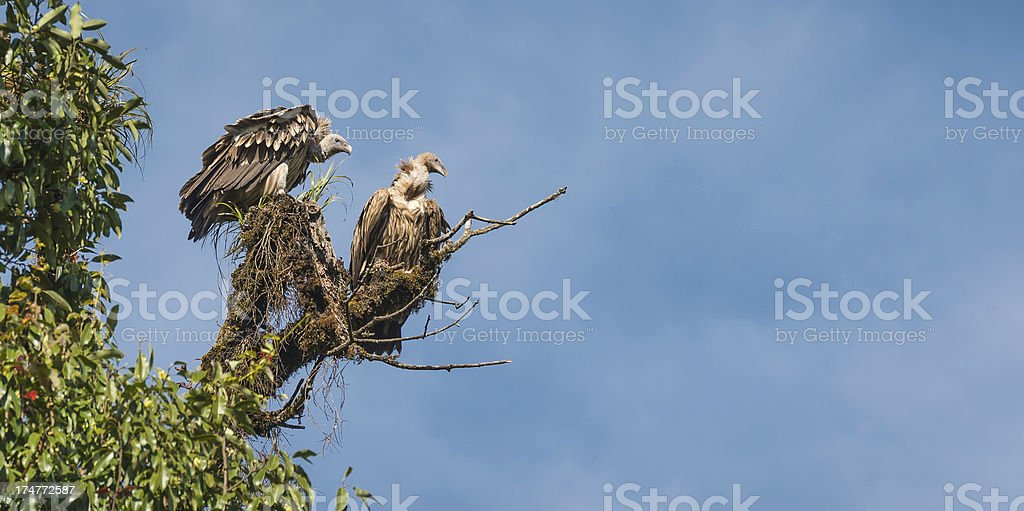 Griffon Vultures roosting in Himalaya forest Nepal stock photo