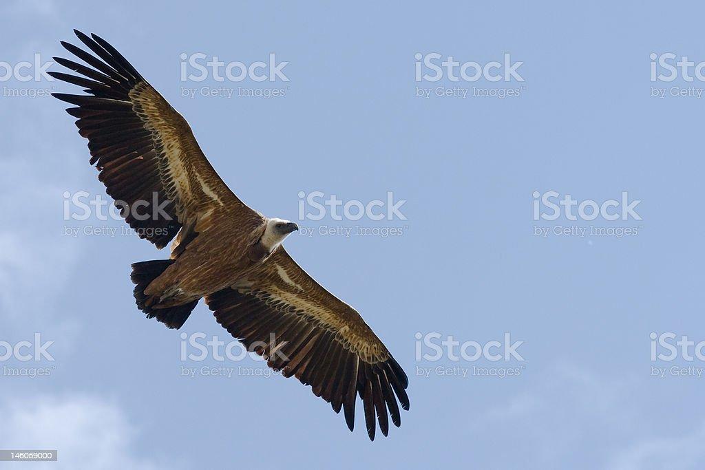 Griffon's Vulture stock photo