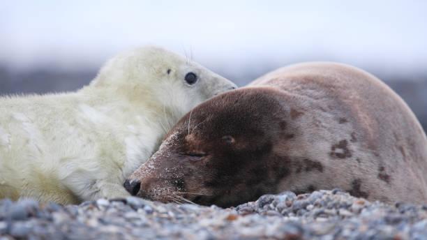 grijze zeehond, grey seal, Halichoerus grypus, kegelrob zeehonden pup op het strand; seal pup at the beachgrijze zeehond, grey seal, Halichoerus grypus, kegelrob duitsland stock pictures, royalty-free photos & images