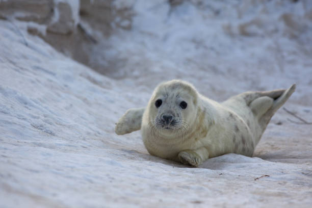 grijze zeehond; grey seal; Halichoerus grypus Grijze zeehond, grey seal, kegelrob, Halichoerus grypuszeehonden pup op het strand; seal pup at the beach duitsland stock pictures, royalty-free photos & images