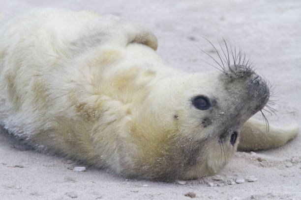 grijze zeehond; grey seal; Halichoerus grypus zeehonden pup op het strand, grey seal pup at the beachzeehonden pup op het strand; seal pup at the beach duitsland stock pictures, royalty-free photos & images