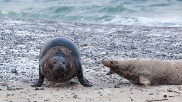 Grijze zeehond, grey seal, kegelrob, Halichoerus grypus in de aanval, attackGrijze zeehond, grey seal, kegelrob, Halichoerus grypus duitsland stock pictures, royalty-free photos & images