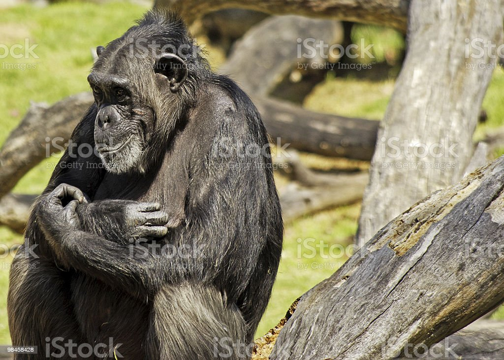 Grinning Chimp. royalty-free stock photo