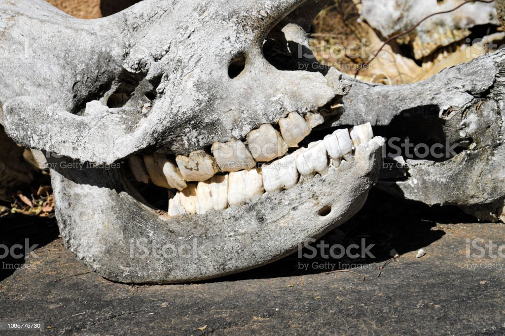 Grinning skull of black rhinoceros Diceros bicornis stock photo