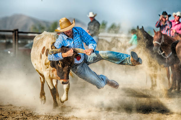Gritty Tough Cowboy During The Steer Wrestling Competition Hanging On To A Land Steers Horns As He Prepares To Control Him And Bring Him To The Ground stock photo