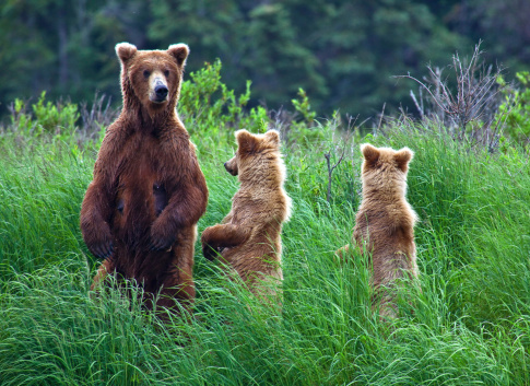 Grizly Bear At Alaska Stock Photo - Download Image Now